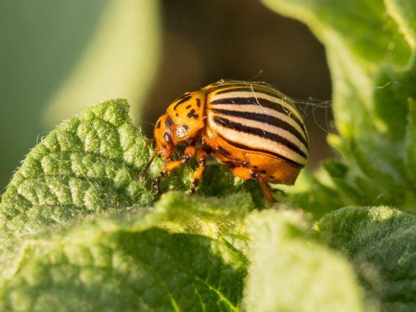 Внешность колорадского жука легко запомнить