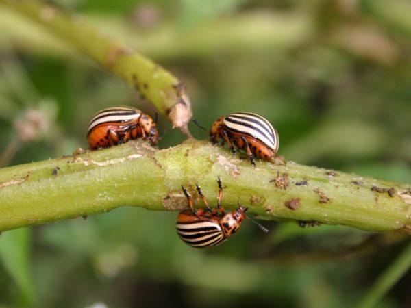 Нашествие насекомых может погубить урожай