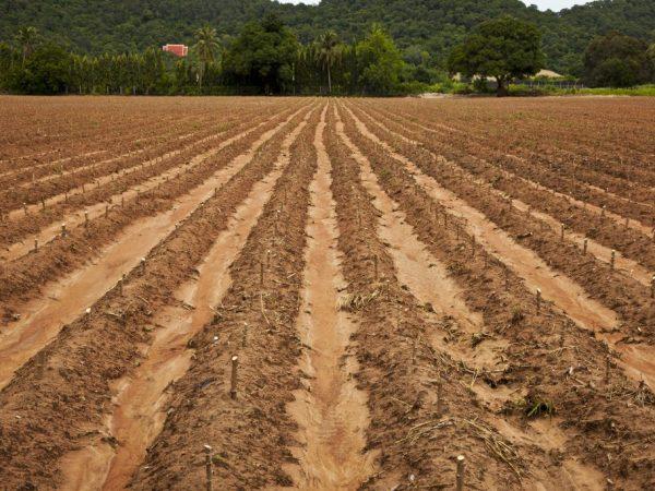 Картофель нужно садить на открытом участке