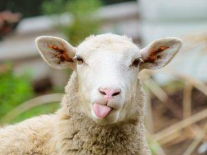 Самые распрстраненные породы овец