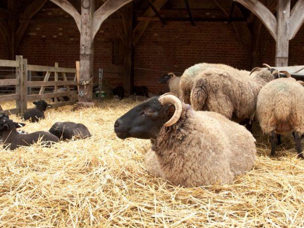 Выращиваем овец на мясо
