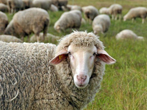 Овцы могут жить на свежем воздухе