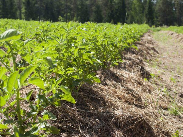 Основные способы посадки картофеля под солому