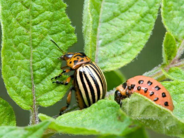 Эффективные средства от колорадского жука на картофеле