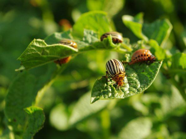 Избавиться от жука можно натуральными средствами
