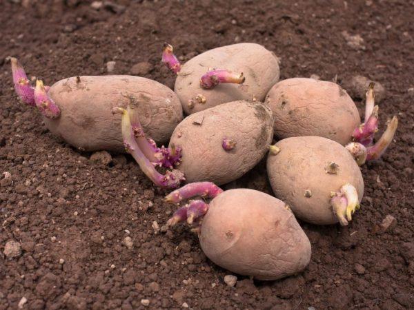 Проращиваем картофель перед посадкой
