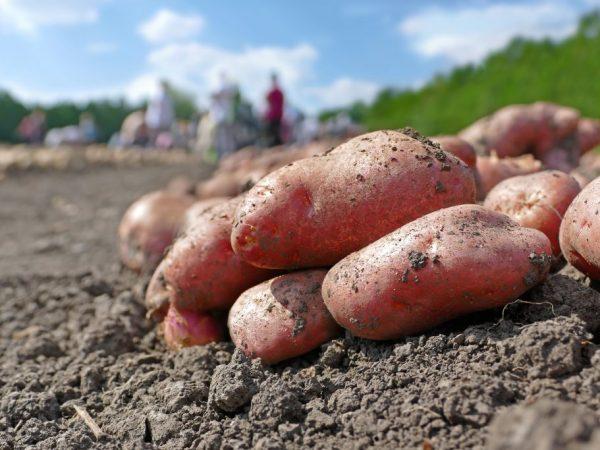 Описание картофеля Рамона