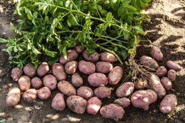 Ранний сорт картофеля Ред Скарлет
