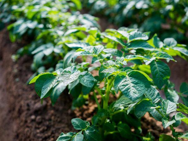 Хороший уход гарантирует богатый урожай