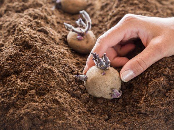 Посадить картофель желательно до середины мая