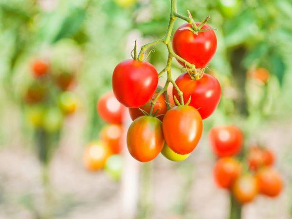 Данный сорт не рекомендуют выращивать в теплице