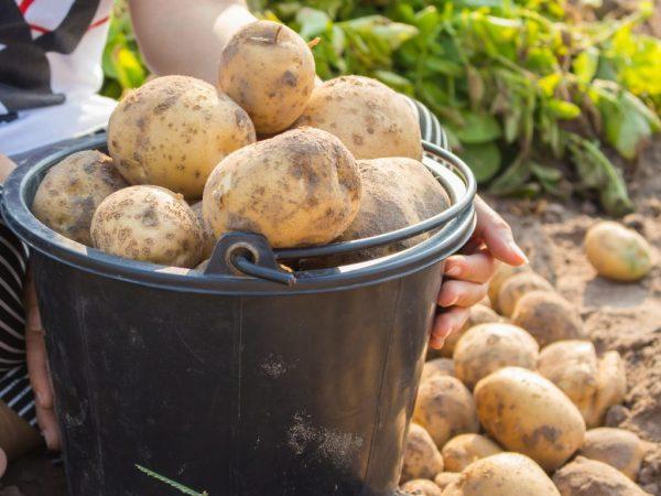 Описание картофеля Тимо
