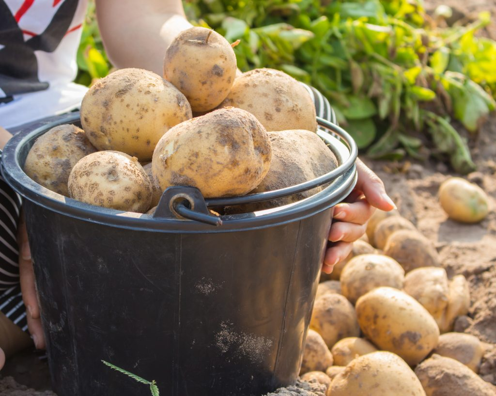 Картофель тимо описание и характеристика сорта урожайность с фото
