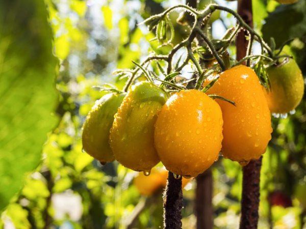 Характеристика томатов сорта Южный Загар