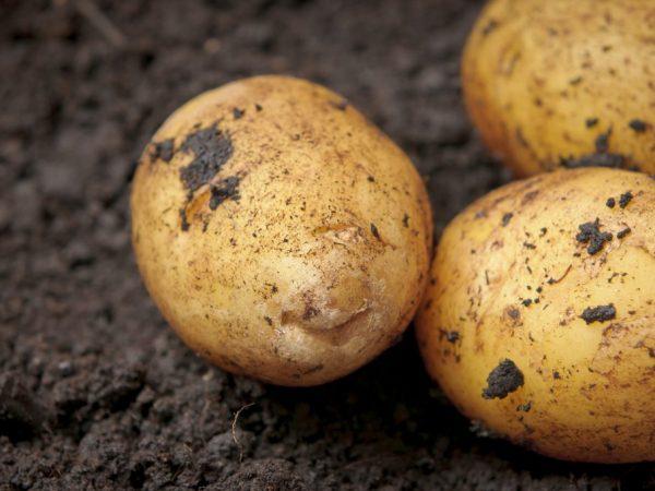 Описание картофеля Аризона