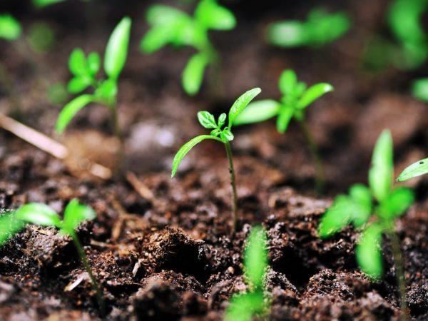 Для ростков необходимы освещение и поддержание температуры
