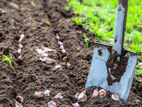 Почва должна быть подготовлена