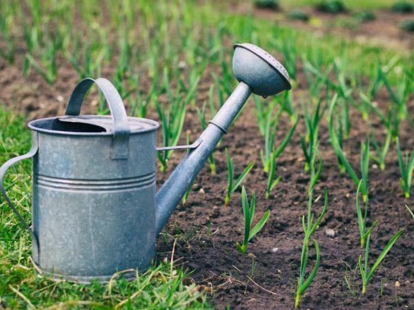Правила полива чеснока весной