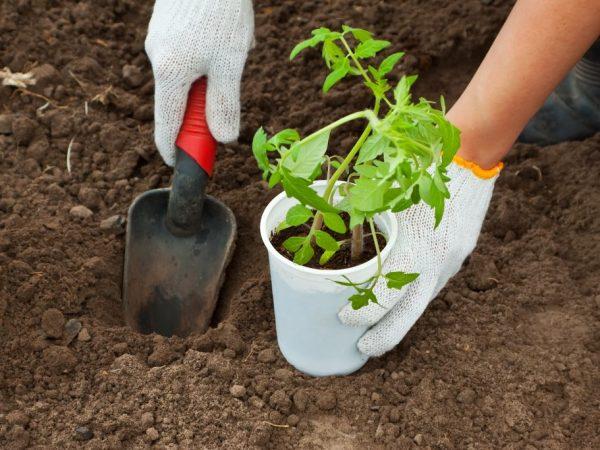 Почва для посадки должна быть хорошо подготовленная