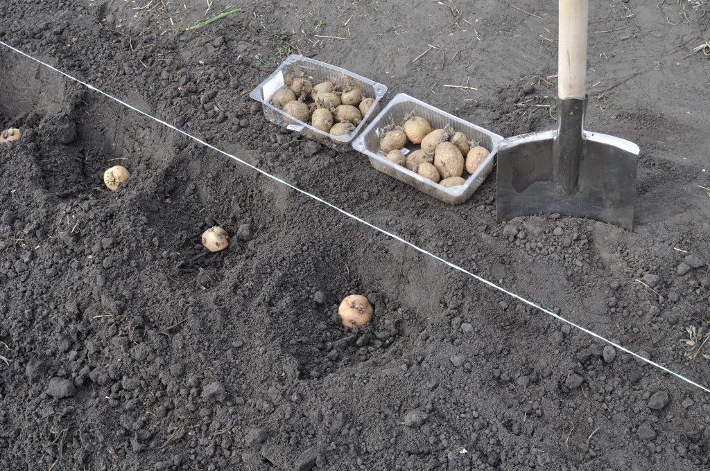 Различные способы посадки картофеля