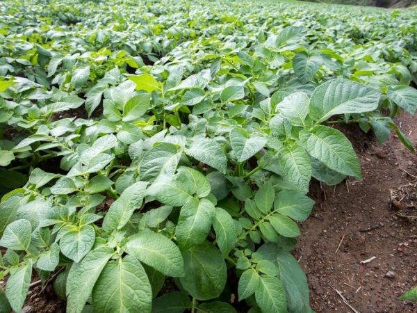 Цветение картофеля зависит от многих факторов
