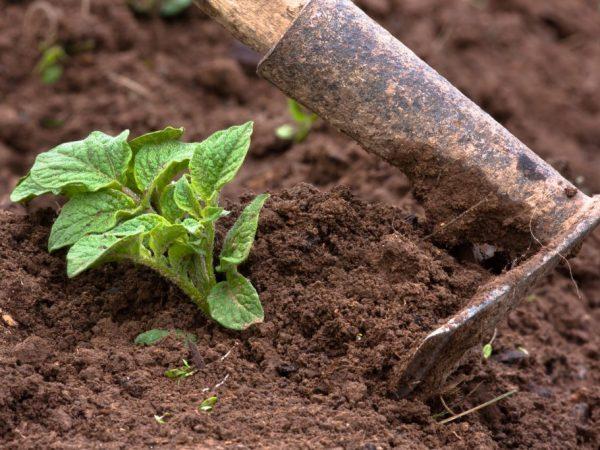 Перед окучиванием нужно убрать сорняки