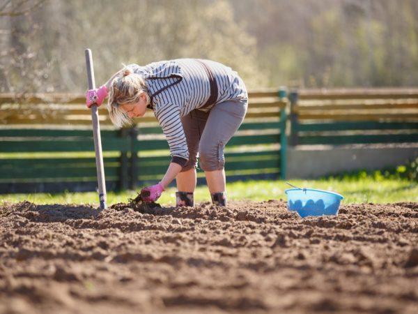 Правила посадки картофеля под лопату