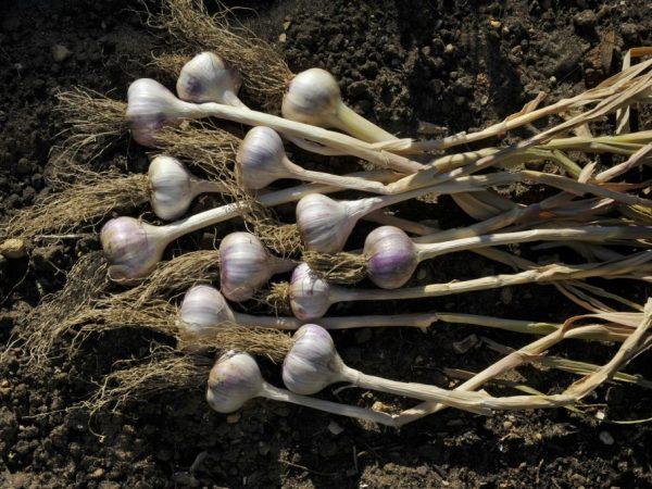 Чеснок и почва должны быть подготовлены к высадке