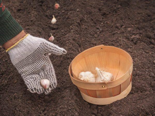 Правила посадки чеснока под зиму в Белоруссии