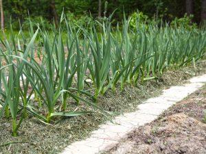 Весенняя высадка чеснока в открытый грунт