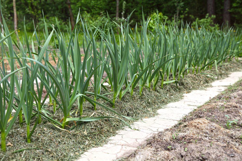 Как, когда и где правильно посадить чеснок весной