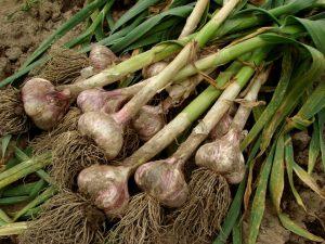 Секреты урожайности чеснока