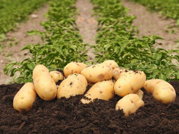 Картофель порадует вас вкусом