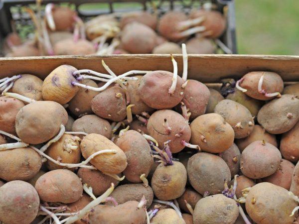Садим картошку с конца весны