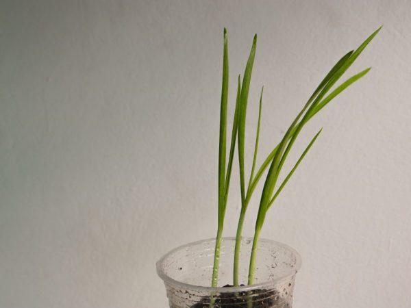 Чеснок можно выращивать дома