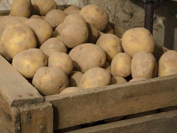 Выкопанный картофель не следует складывать в мешки