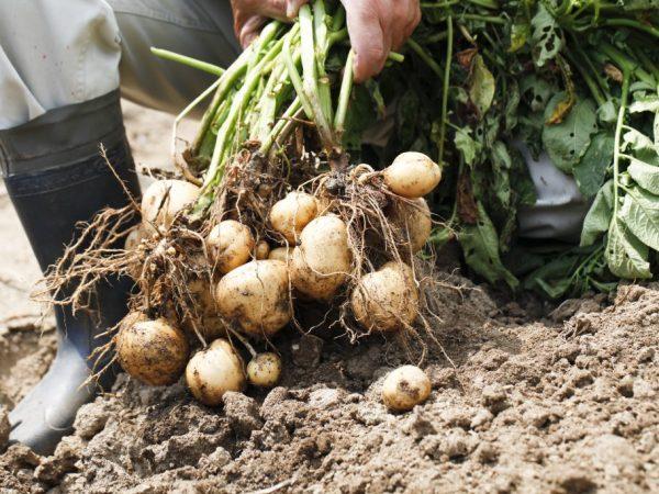Много картошек в гнезде