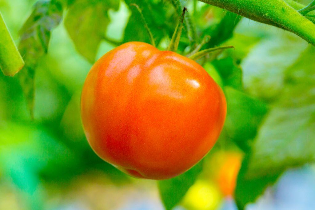 Томат персик красный характеристика и описание сорта