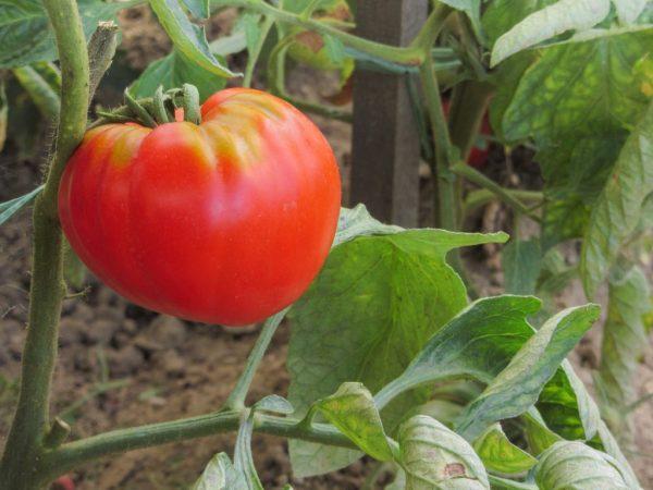 Описание сорта томатов Абаканский розовый