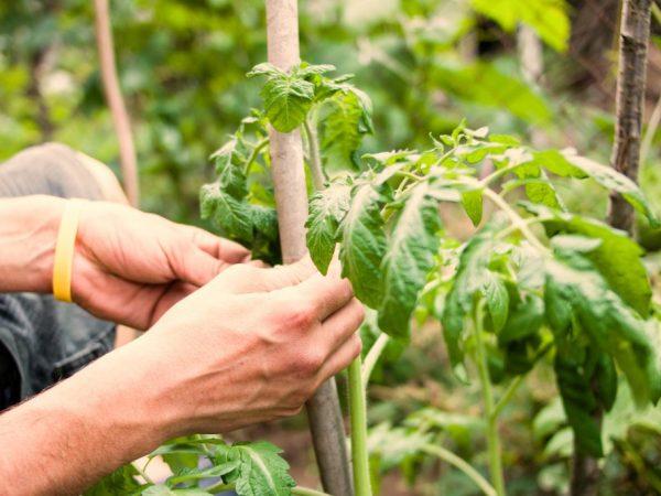 Растениям нужна подвязка