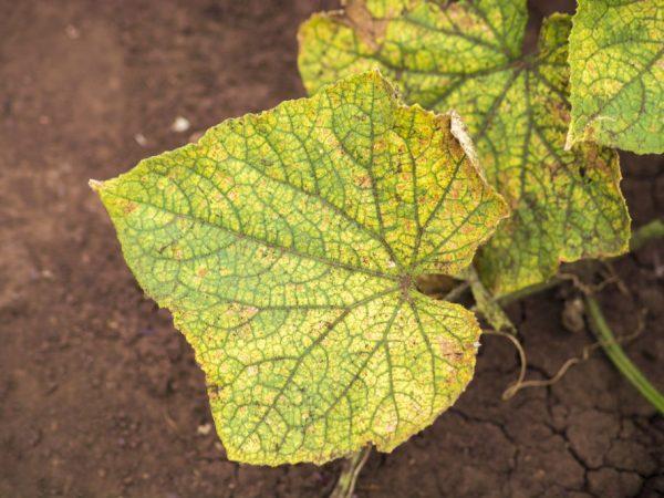 Заболевание моментально переносится на соседние растения
