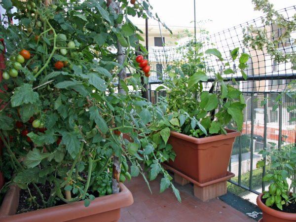 Размер горшка должен соответствовать корневой системе томата