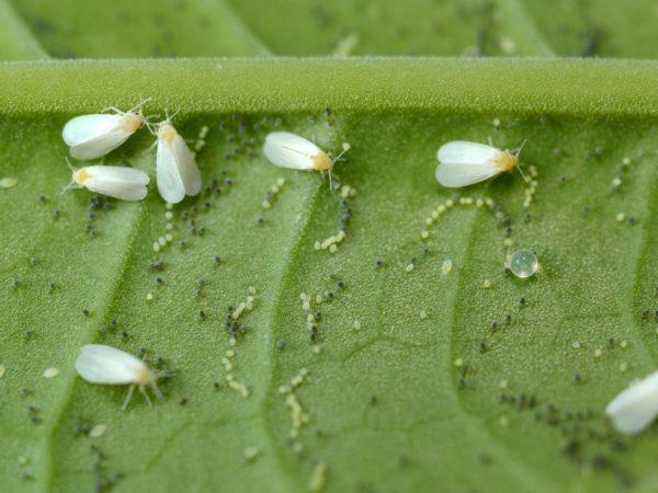 Борьба с белокрылкой на помидорах в теплице