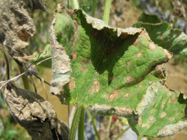 От болезней огурцов страдает урожай
