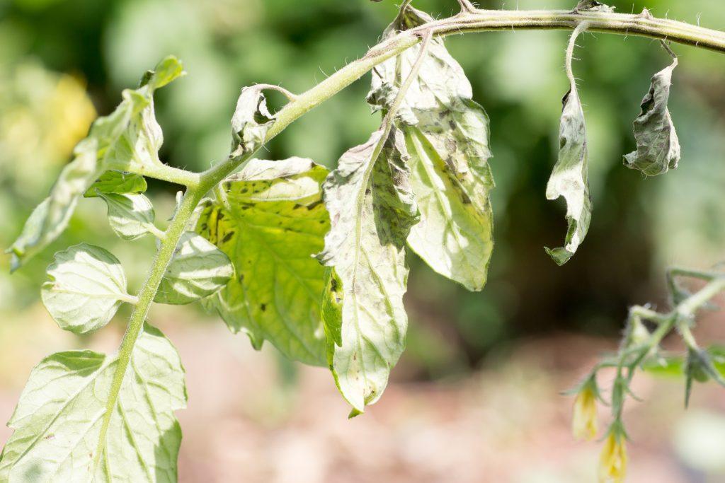 Агроном: Лечение кладоспориоза или бурой пятнистости томата в 2019 году