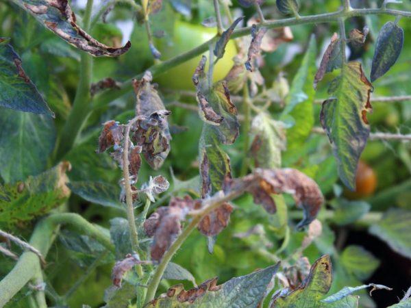 Настой чеснока поможет вылечить растения