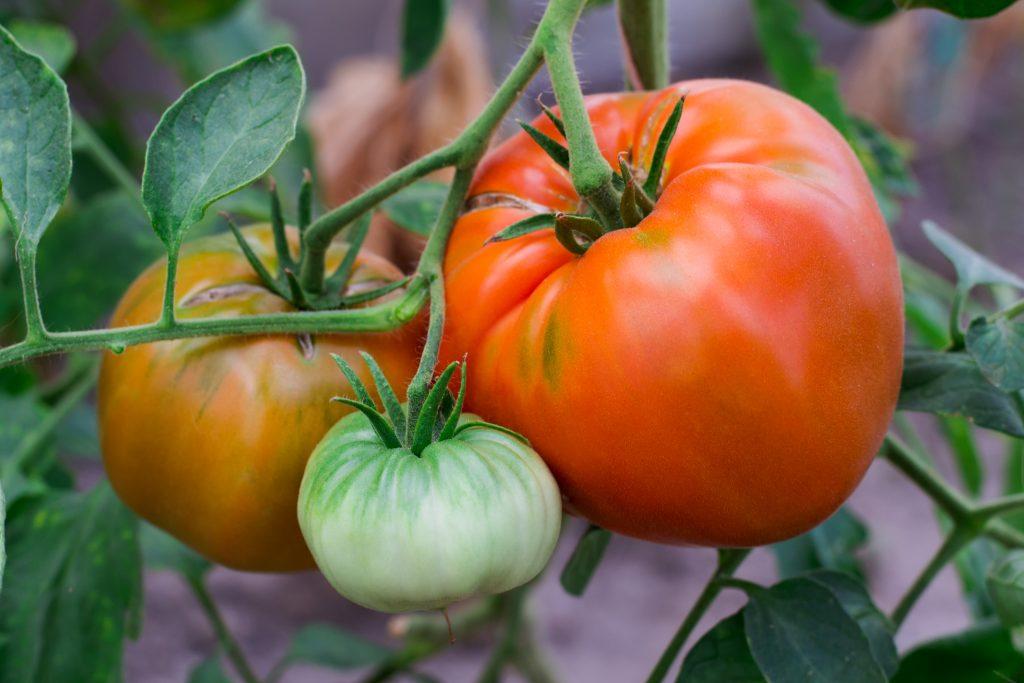 Характеристика и описание томата Бычий лоб