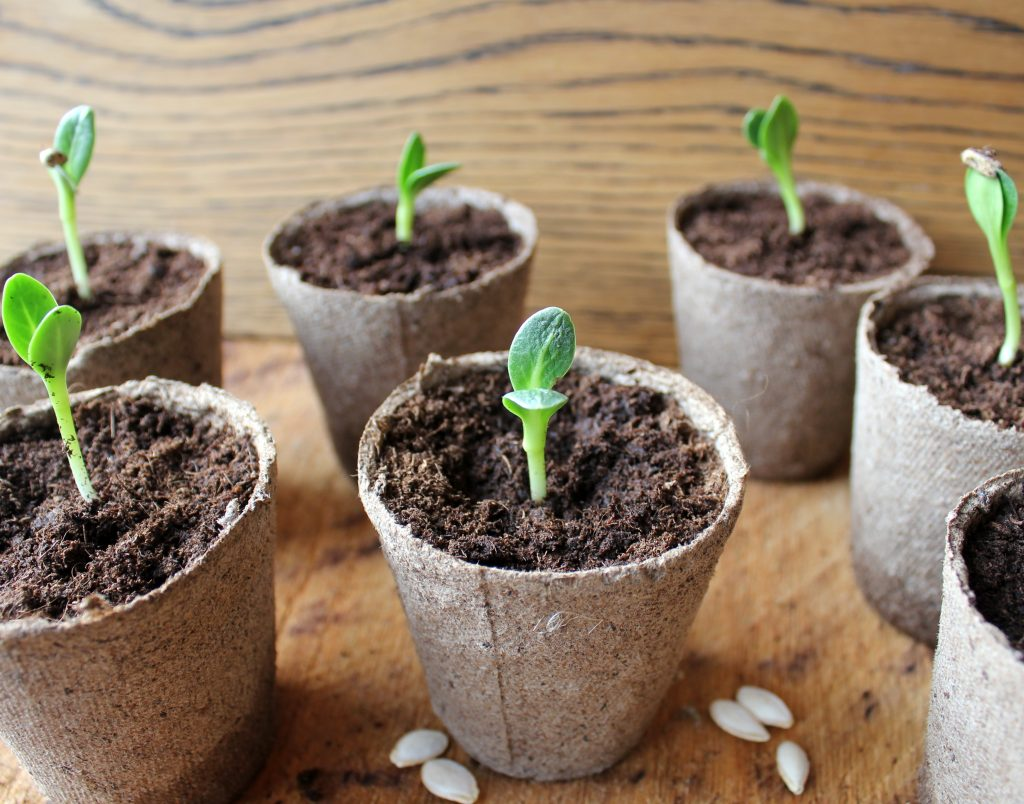 Через сколько дней прорастают семена