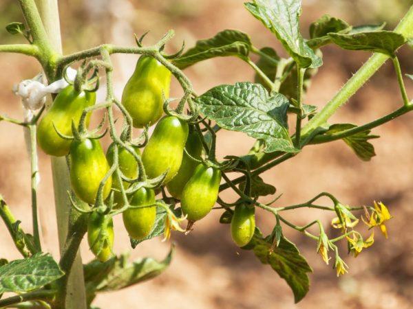 При хорошем уходе вырастит здоровое растение