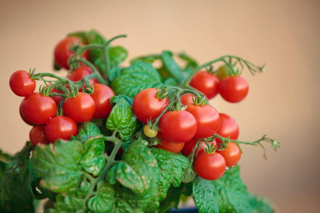 Помидоры Черри - выращивание в домашних условиях на подоконнике и балконе